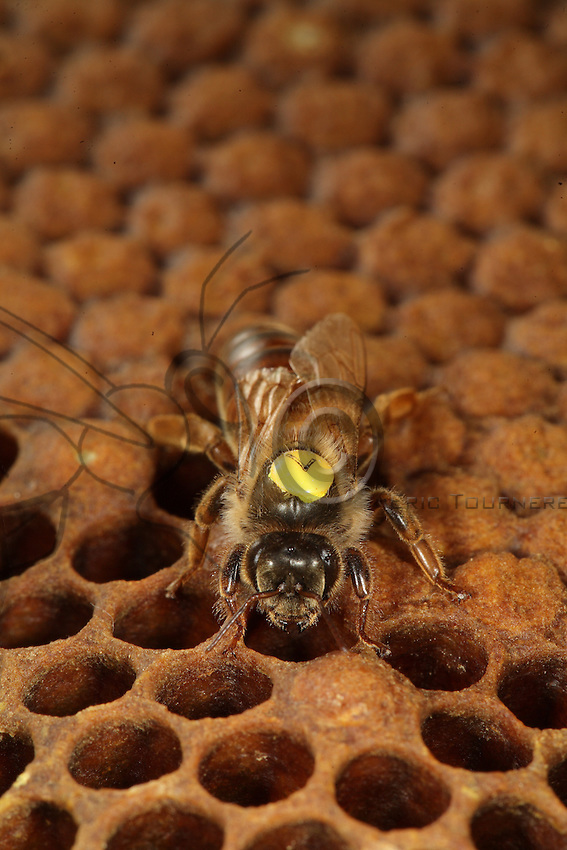 Frontal view of a queen alone on a capped brood comb. The cells and the nymphs they contain have been sealed by workers for the final transformation to occur.