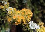 Gold Eye Lichen (Teloschistes chrysophthalmus). Wunderlich County Park. Woodside, San Mateo Co., Calif.