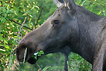 moose eating vegetation in Anchorage