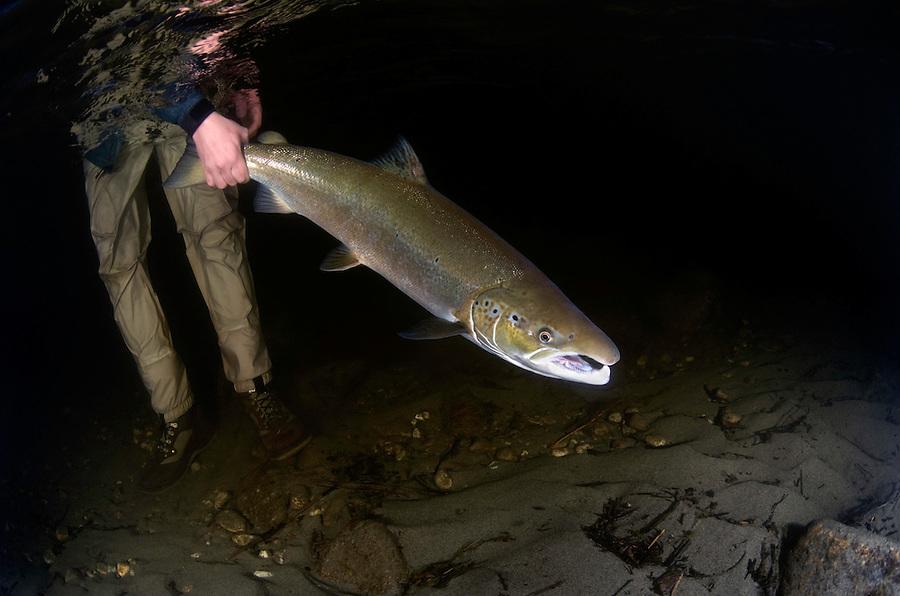 Atlantic Salmon, Salmo salar<br /> River Orkla, Rennebu, Norway<br /> Model name: Krister Hoel. Modelrelease by photographer. Photographed at catch/release fishing.