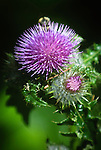 Canada thistle (Cirsium arvense), Coast mountain range, Oregon