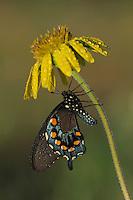 Pipevine Swallowtail (Battus philenor),adult in dew on flower, Fennessey Ranch, Refugio, Coastal Bend, Texas, USA