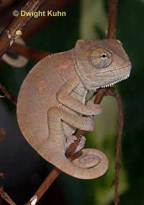 CH47-684z  Veiled Chameleon one month old young, Chamaeleo calyptratus