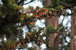 monarch butterflies on cypress