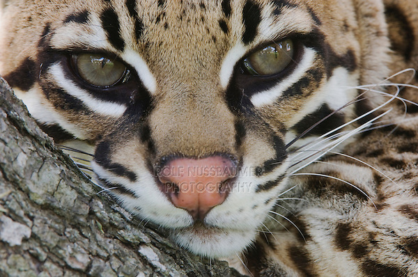 Ocelot, Felis pardalis, captive, female resting on mesquite tree, Welder Wildlife Refuge, Sinton, Texas, USA