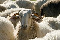 Italien, Piemont, Provinz Cuneo, Schafherde | Italy, Piedmont, Province Cuneo, flock of sheep