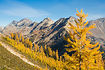 Yellow larch in the fall on the trail to the summit of Carne Mountain are seen with Mt. Maude, and the North and South Spectacle Butte in the background.