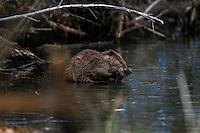 Canadian beaver, lives again in Sonora Mexico after their extinction 80 years ago.<br /> <br />   Castor conservation, after natural restocking or return to Sonora since 2005.<br /> The Canadian beaver is back in Sonora Mexico after restocking. Currently this mammalian species inhabits the basin of the river San Pedro in the region and specifically in the streams of the private reserve of Rancho Los Fresnos.<br /> <br /> <br /> Castor Canadiense, habita otra vez en Sonora M&eacute;xico luego de su extinci&oacute;n hace 80 a&ntilde;os.<br /> <br /> <br /> <br /> <br />  Conservaci&oacute;n del Castor, luego de su natural repoblaci&oacute;n o regreso a Sonora desde 2005. <br /> <br /> Este gigante roedor fu extinto de la zona norte de M&eacute;xico hace 80 a&ntilde;os.<br /> <br />  Actualmente esta especie de mam&iacute;fero habita en la cuenca de el rio San Pedro de la regi&oacute;n y en especifico en los arroyos de la reserva privada Rancho los Fresnos a cargo de la Asociaci&oacute;n Civil Naturalia <br /> <br /> Se estima que la creaci&oacute;n de diques de este animal ha beneficiando a los ranchos cercanos por la retenci&oacute;n de agua hacia el sub suelo