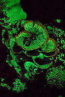 UV table coral fluorescent