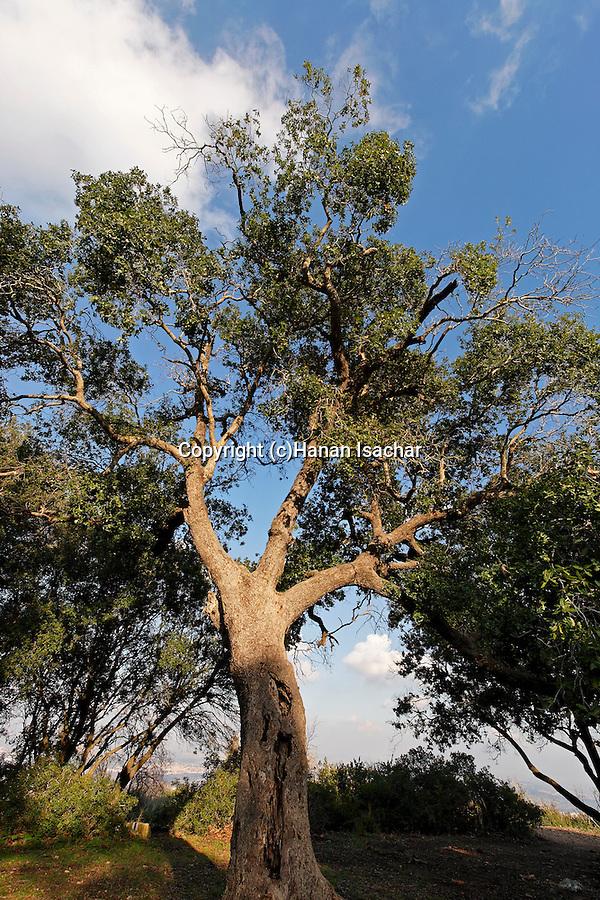Mount Carmel. Oak tree in Hurshat Haarbaim