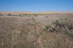 Game trail, Hanford Reach National Monument, Wahluke Slope, sand dunes, grasslands, sagebrush, Columbia Basin, eastern Washington, Washington State, Pacific Northwest, USA, North America,