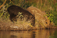 Feral Pig (Sus scrofa), young drinking from pond, Fennessey Ranch, Refugio, Corpus Christi, Coastal Bend, Texas Coast, USA