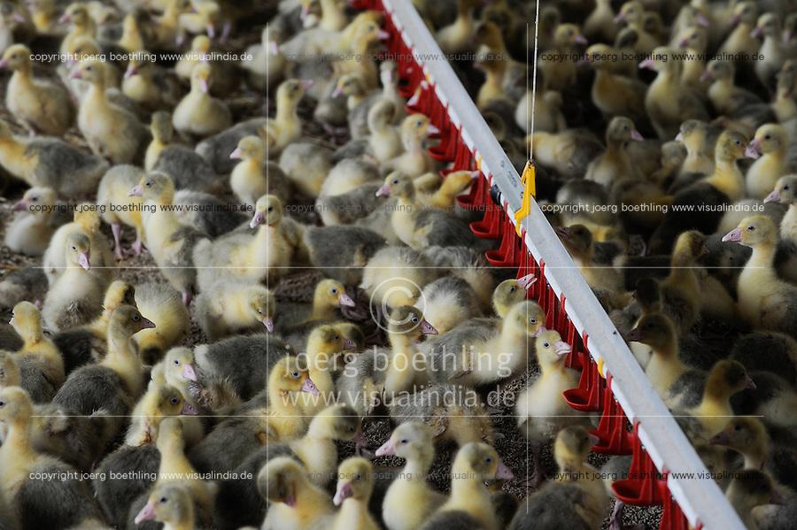 GERMANY, Wermsdorf, geese breeding for meat and down production, young eese in stable / DEUTSCHLAND Gaensezucht Eskildsen in Wermsdorf suedlich von Leipzig, junge Gaensekueken, Gaensezucht und Daunenherstellung, Betrieb gehoerte zu DDR Zeiten zum Kombinat industrielle Mast KIM