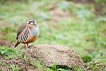 Red Legged Partridge, Alectoris rufa, Sierra de Andujar Natural Park, Sierra Morena, Andalucia, Spain