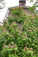 Viburnum sargentii Onondago Sargent Viburnum shrub in May spring bloom against old stone house, Onondaga Sargent Viburnum