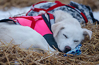 A Magnus Kaltenborn dog sleeps on his bed of straw in the morning at the Nikolai checkpoint during the 2018 Iditarod race on Wednesday March 07, 2018. <br /> <br /> Photo by Jeff Schultz/SchultzPhoto.com  (C) 2018  ALL RIGHTS RESERVED