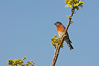 Eastern Bluebird (Sialia sialis). Spring. Carolinian Forest. Lake Erie. Point Pelee National Park, Ontario. Canada.