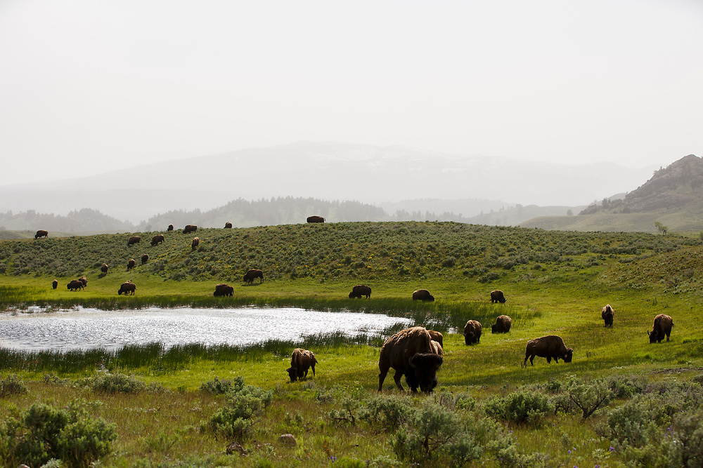 Bison graze in the Lamar Valley in Yellowstone National Park, Wyoming on Wednesday, May 24, 2017. (Photo by James Brosher)