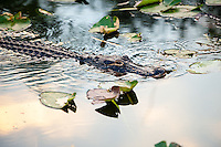 US, Florida, Everglades, Shark Valley. Alligator swimming in a pond.