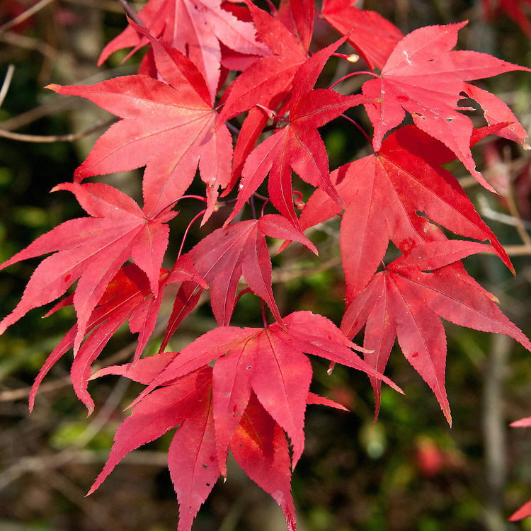 Acer palmatum 'Red Shadow', early November.