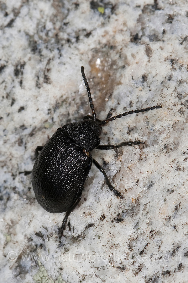Rainfarn-Blattkäfer, Rainfarnblattkäfer, Galeruca tanaceti, tansy beetle