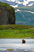 Brown Bear wading through Mikfik Creek in search of Salmon. Summer at McNeil River Bear Sanctuary in Southwest Alaska.