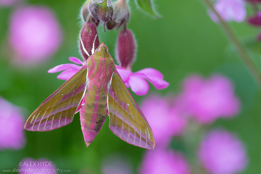 Elephant Hawkmoth (Deilephila elpenor), Peak District National Park, Derbyshire, UK. June.