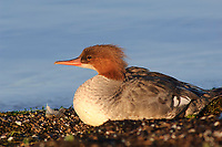 Adult female Common Merganser (Mergus merganser) loafing on a shoreline. Tompkins County, New York. July.