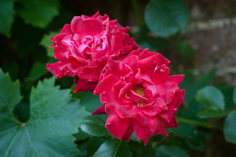 Rosa 'Danse du Feu', mid June. A climbing rose with scented double, scarlet-red flowers from summer to autumn. Introduced in 1953.