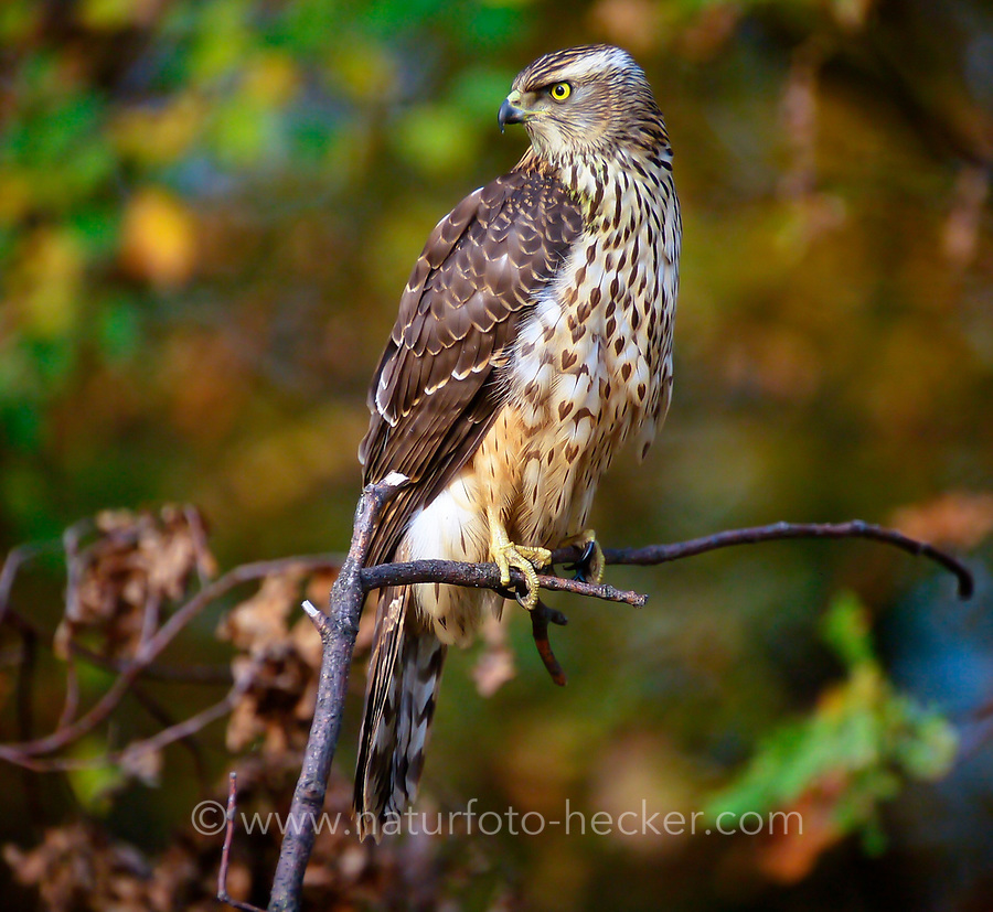 Habicht, Jungvogel, Rothabicht, Rot-Habicht, Accipiter gentilis, northern goshawk, goshawk, L'Autour des palombes
