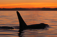 qd50104-D. Orca (Orcinus orca), adult male at sunset. Also called Killer Whale. Washington, USA, Pacific Ocean..Photo Copyright © Brandon Cole. All rights reserved worldwide.  www.brandoncole.com..This photo is NOT free. It is NOT in the public domain. This photo is a Copyrighted Work, registered with the US Copyright Office. .Rights to reproduction of photograph granted only upon payment in full of agreed upon licensing fee. Any use of this photo prior to such payment is an infringement of copyright and punishable by fines up to  $150,000 USD...Brandon Cole.MARINE PHOTOGRAPHY.http://www.brandoncole.com.email: brandoncole@msn.com.4917 N. Boeing Rd..Spokane Valley, WA  99206  USA.tel: 509-535-3489