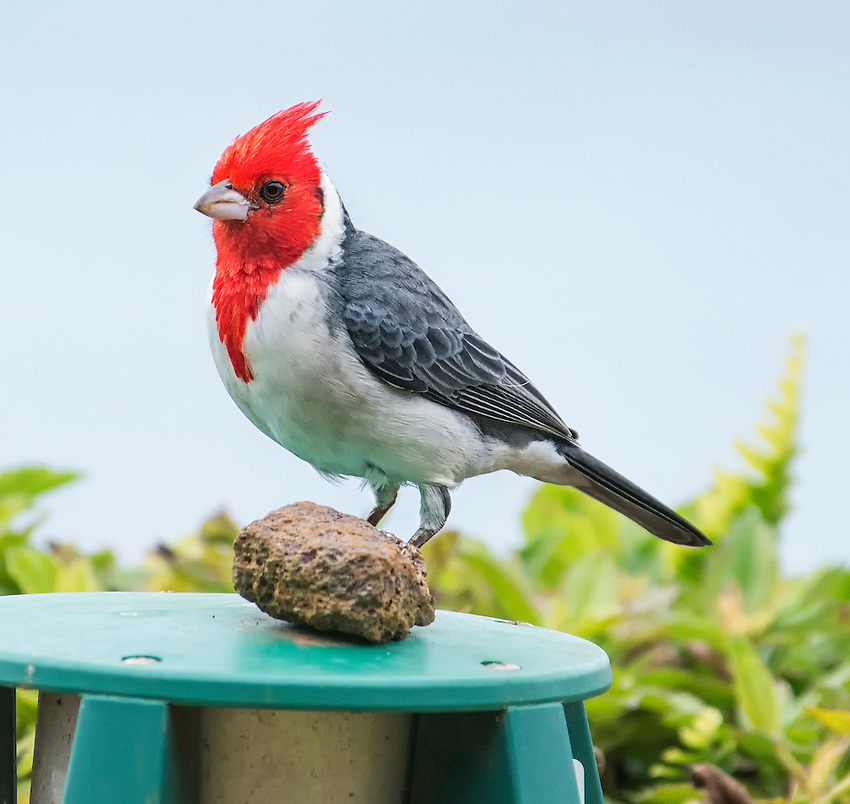 Red-crested cardinal (Paroaria coronata), viewed on the north shore of Kauai near Princeville, Hawaii