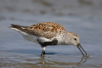 Dunlin; Calidris alpina; foraging on mud flat; NJ, Delaware Bay, Heislerville WMA