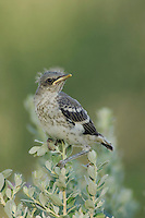 Northern Mockingbird, Mimus polyglottos, newly fledged young on Texas Sage (Leucophyllum frutescens), Willacy County, Rio Grande Valley, Texas, USA