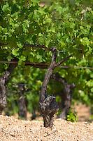Vines. Mount Athos. Tsantali Vineyards & Winery, Halkidiki, Macedonia, Greece. Metoxi Chromitsa of St Panteleimon monastery.