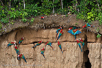 Red-and-Green Macaws (Ara chloroptera) at the Blanquillo clay lick along the Rio Madre de Dios, lowland tropical rainforest, Madre de Dios, Peru.