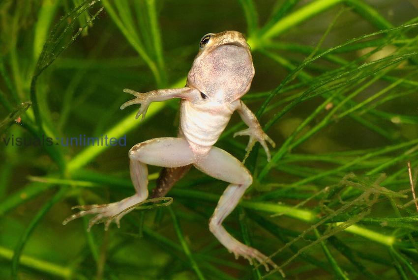 European Common Frog (Rana temporaria) tadpole nearing metamorphosis to adult stage, Switzerland