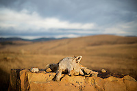 Dead Coyote - off Millegan Road, Ulm, Montana