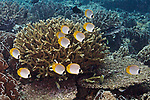 Chaetodon adiergastos, Panda butterflyfish, Suanggi Island, Indonesia