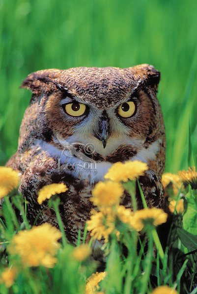 Great Horned Owl in Dandelions. Spring. North America. (Bubo virginianus).