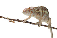 Panther Chameleon, and an insect hiding under the branch