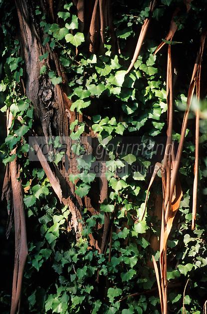 Europe/Provence-Alpes-Côte d'Azur/83/Var/Rayol-Canadel-sur-Mer: Jardin du domaine du Rayol - Détail d'eucalyptus au conservatoire du littoral