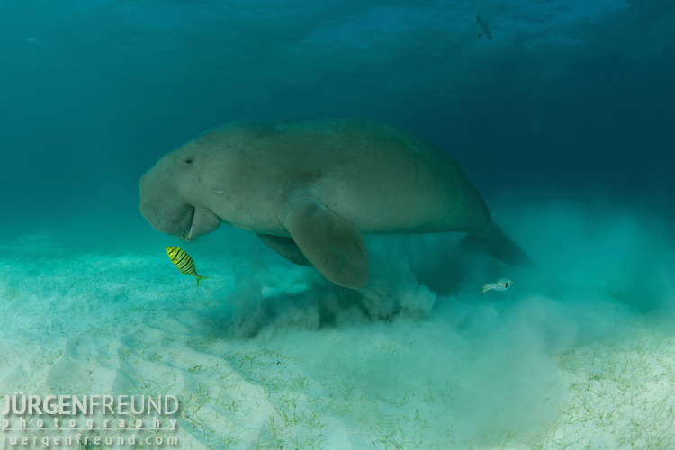 Dugong (Dugong dugon) feeding in the seagrass bed. Dimakya Island, Palawan, Philippines 18 April 2010