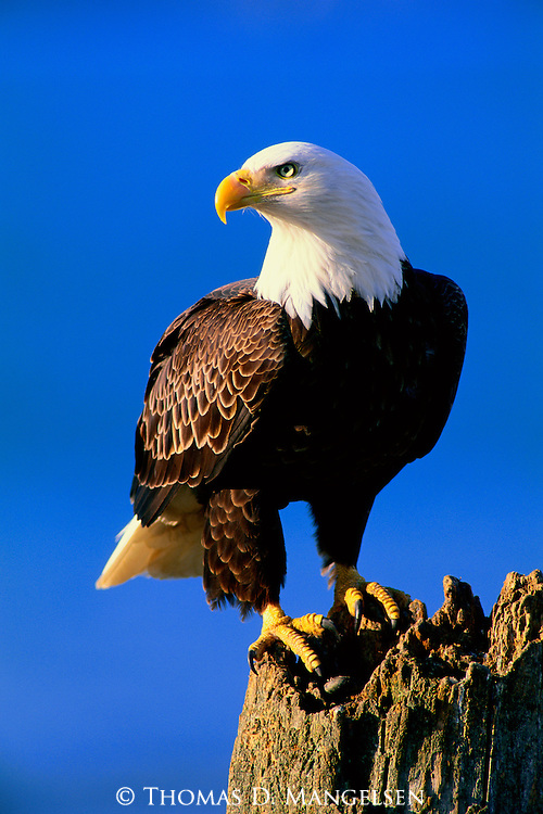 A bald eagle perched on a tree stump in Southeast Alaska.