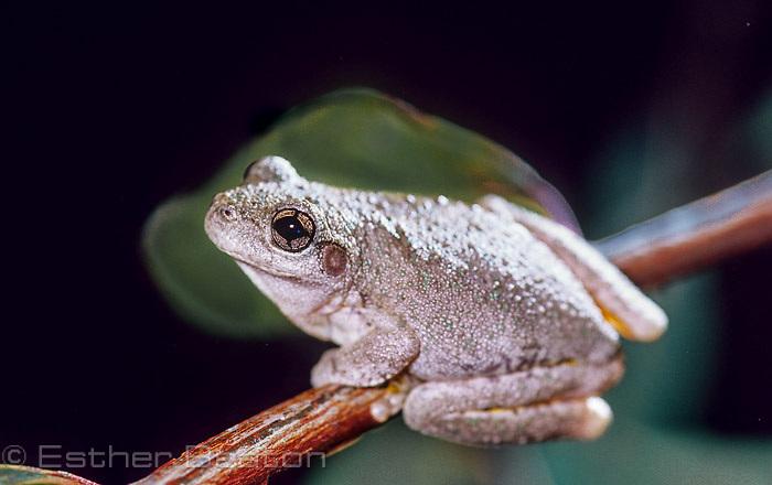 Peron's Tree Frog (Litoria peronii) male on branch of eucalypt tree, Gundagai area, NSW