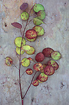Stem of burgundy and green discs of unripe seedheads of Honesty or Lunaria lying on pink marbled slate