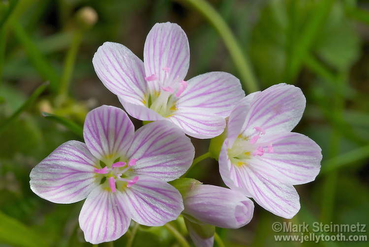 Close up of Spring Beauty, a common wildflower native to North America. This subspecies, the Virginia Spring Beauty (Claytonia virginica var. virginica), is the most familiar and wide-ranging. Edible tuber and flowers.
