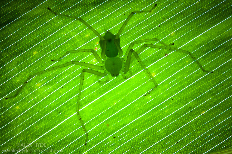 Green Huntsman Spider {Sparassidae} on leaf in tropical rainforest. Masoala Peninsula National Park, north east Madagascar.