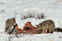 01864-02015 Coyotes (Canis latrans) in winter, eating elk carcass Yellowstone NP   WY