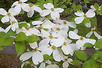 Flowering Dogwood; Cornus florida; PA, Philadelphia